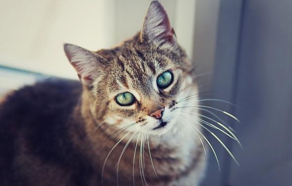 Картинка кошка, глаза, кот, усы, взгляд, шерсть, смотрит