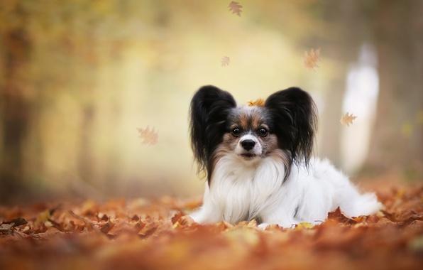 Картинка осень, листья, собака, боке, Папийон, Континентальный той-спаниель