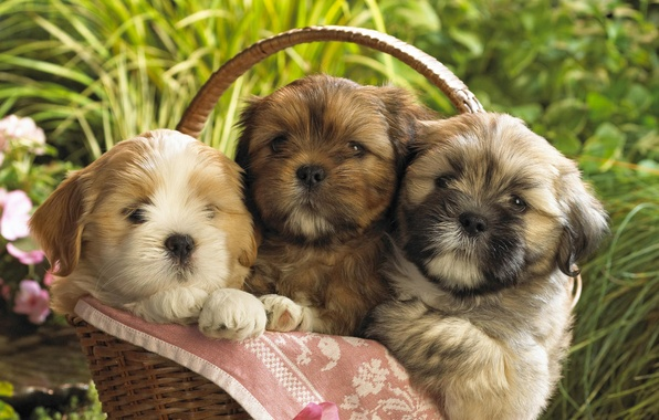 Картинка корзина, щенки, Собаки