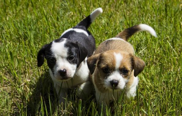 Картинка собаки, трава, взгляд, щенки, малыши, мордашки