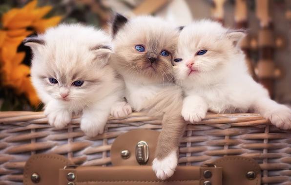 Картинка котята, малыши, трио, троица, Рэгдолл