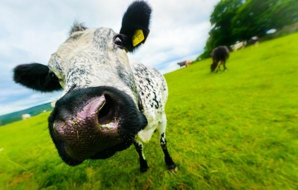 Картинка лето, морда, корова