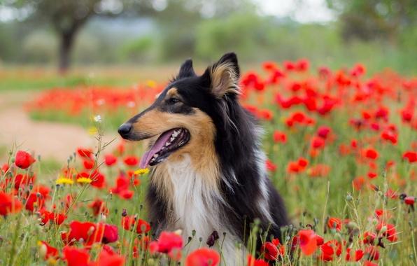 Картинка взгляд, друг, маки, собака