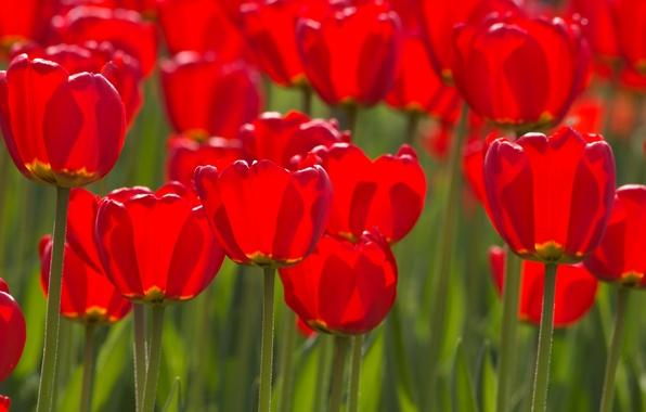 Картинка цветок, цветы, стебли, тюльпан, весна, лепестки, тюльпаны, бутоны, flowers