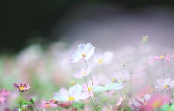 Картинка макро, свет, легкость, поляна, весна, размытость, розовые, белые, космея