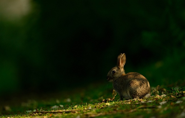 Картинка лето, природа, заяц