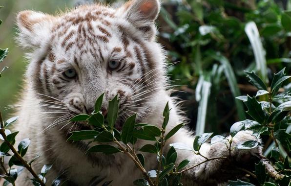 Картинка зелень, взгляд, детёныш, белый тигр, тигрёнок