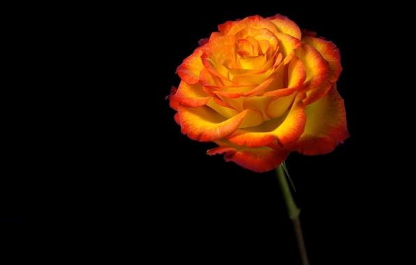 Картинка цветок, свет, фон, роза, тень, лепестки