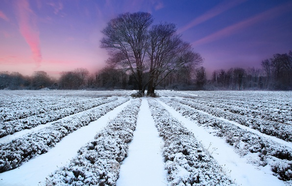 Картинка зима, поле, закат, природа, дерево, лаванда