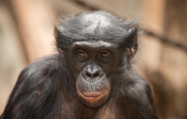 Картинка морда, фон, обезьяна