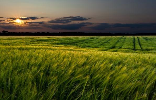 Картинка пшеница, зелень, поле, небо, трава, солнце, облака, пейзаж, закат, природа, зеленый, фон, widescreen, обои, пейзажи, …