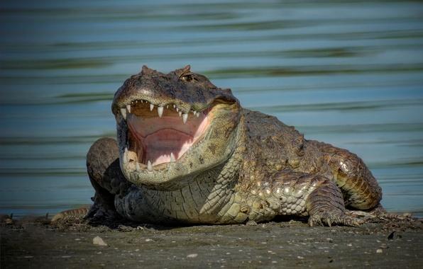 Картинка крокодил, пасть, зубки, кайман
