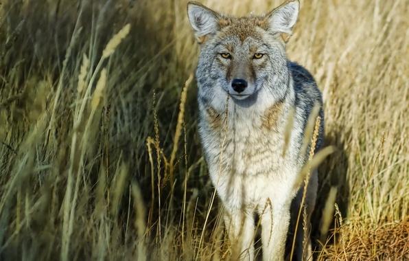 Картинка трава, взгляд, волк