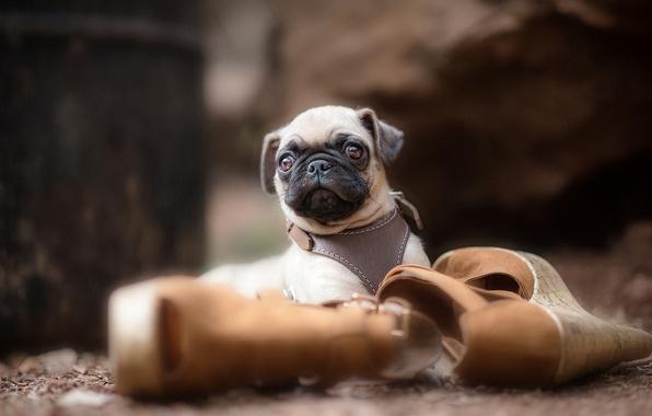 Картинка собака, туфли, мопс, щенок