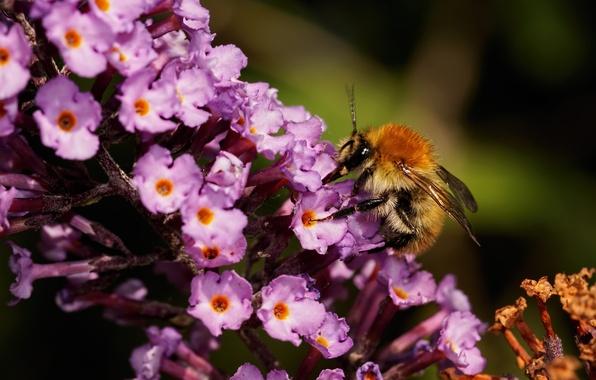 Картинка цветок, макро, цветы, природа, нектар, насекомое, шмель