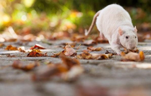 Картинка листья, крыса, грызун, крыска