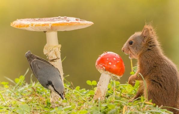 Картинка трава, природа, животное, птица, грибы, белка, мухоморы, поползень
