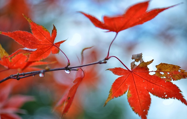 Картинка осень, листья, капли, блики, ветка, красные, клен