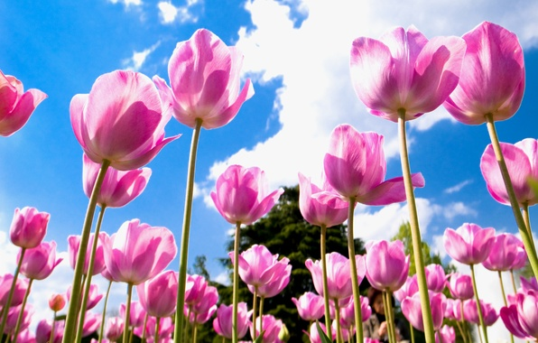 Картинка поле, небо, облака, голубое, лепестки, Тюльпаны, розовые