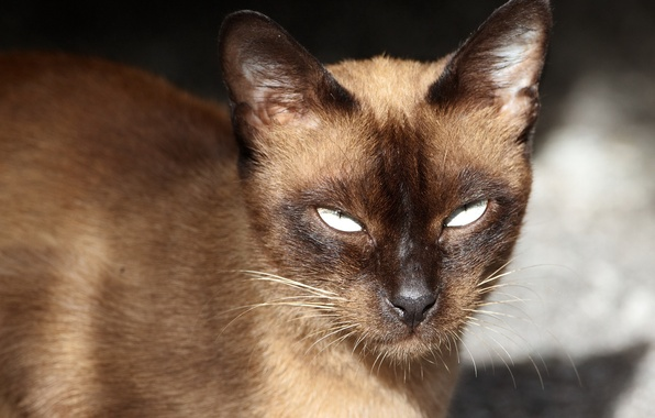 Картинка кошка, взгляд, портрет, сиамская