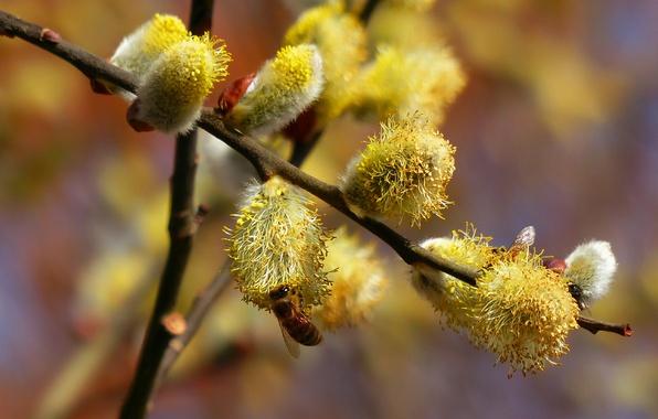 Картинка нектар, пчела, ветка, весна, верба, ива
