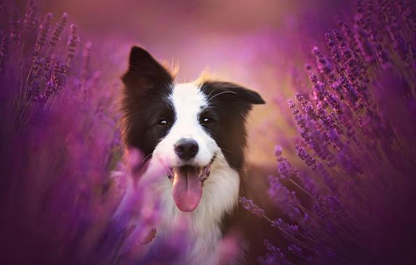 Картинка язык, радость, цветы, настроение, собака, лаванда, Бордер-колли