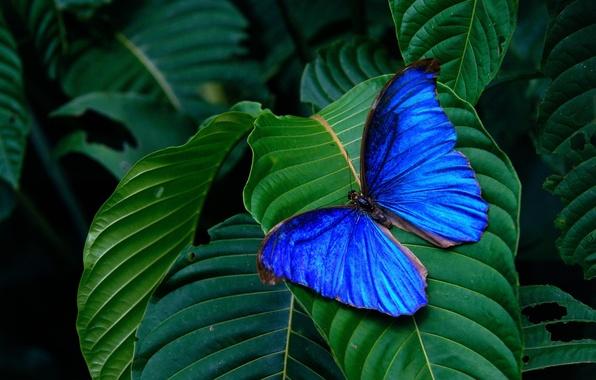 Картинка листья, фон, бабочка, крылья, насекомое, зелёные, голубая