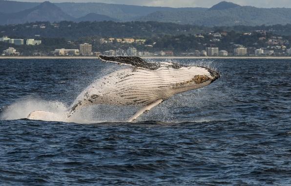 Картинка море, город, побережье, Австралия, кит, Australia, Queensland, Gold Coast, Квинсленд, Голд-Кост, горбатый кит, Коралловое море, …