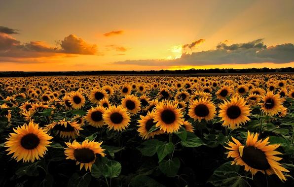 Картинка поле, лето, облака, подсолнухи, закат, цветы, природа, вечер