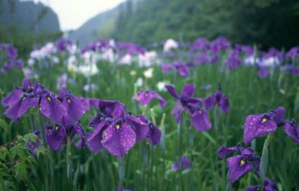 Картинка зелень, капли, цветы, дождь, япония, сад, фиолетовые, ирисы