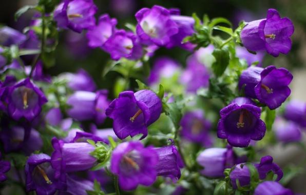 Фото колокольчики цветы фиолетовые