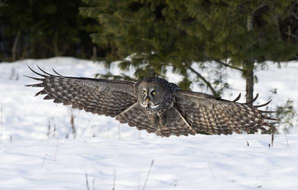 Картинка зима, снег, природа, сова, птица, крылья, приземление