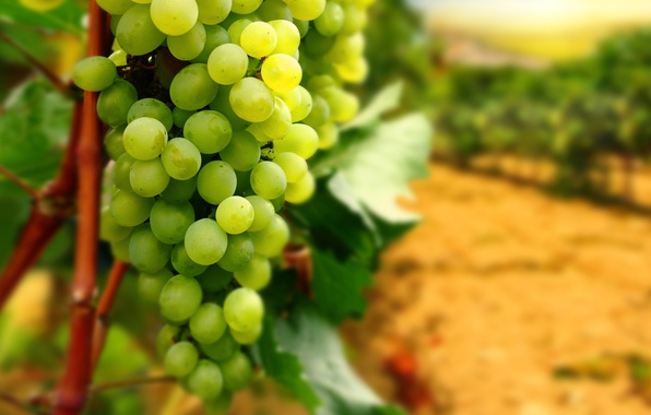 Картинка листья, ветки, виноград, гроздь, виноградник