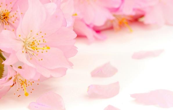 Картинка цветы, красота, весна, лепестки, размытость, тычинки, нежные, розовые, яблоня, бутоны, цветение, pink, flowers, пестики, Spring, …