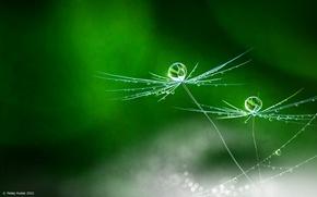 Картинка flower, rain, nature, dandelion, Matej Hudak