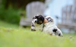 Картинка боке, малыши, Аусси, собаки, Австралийская овчарка, щенки