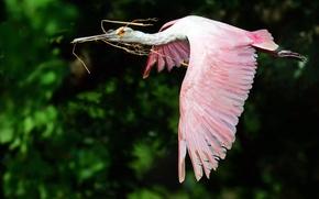 Картинка полет, птица, крылья, кусты, розовая колпица, обои от lolita777