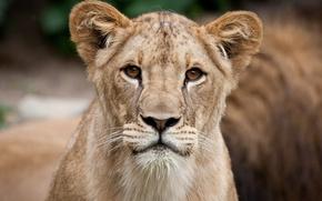 Картинка кошка, взгляд, морда, портрет, лев, львёнок