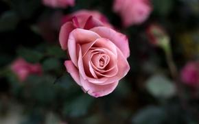 Обои цветок, макро, цветы, розовая, роза, куст, красота, лепестки, размытость, бутон
