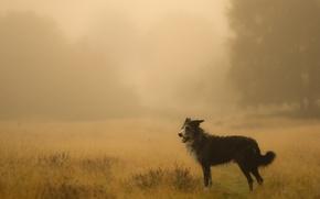 Картинка поле, туман, собака