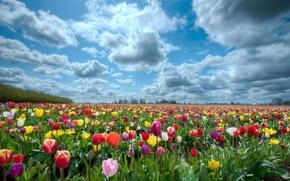 Картинка поле, небо, природа, тюльпаны