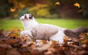 Картинка осень, кошка, листья, Рэгдолл