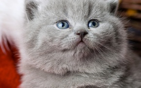 Картинка мордочка, котёнок, голубые глаза, британец, Британская короткошёрстная