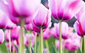 Картинка pink, flowers, tulip