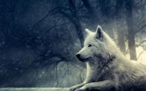 Картинка лес, белый, снег, волк