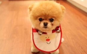 Картинка собака, взгляд, Померанский шпиц, морда, пес, Cute Puppy As Christmas Present, пушистый, породы, глаза, носик