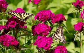 Картинка бабочки, цветы, гвоздики