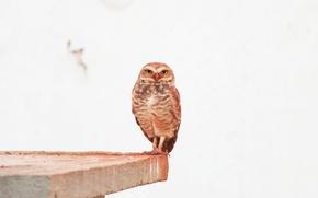 Обои перья, глаза, смотрит, сова