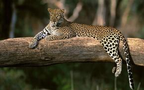 Картинка отдых, Леопард, ветка