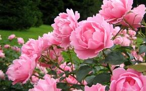 Картинка Куст, Розовый, Бутоны